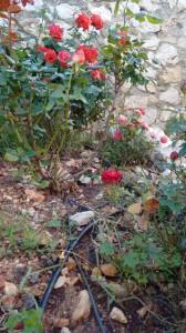Розовые кусты с системой ирригации в виде трубок