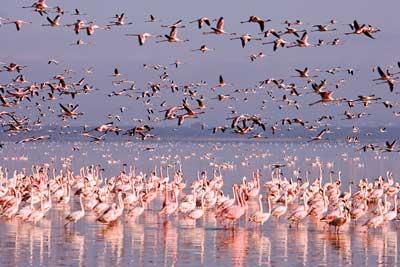 Кенийское озеро Накуру - цветное озеро